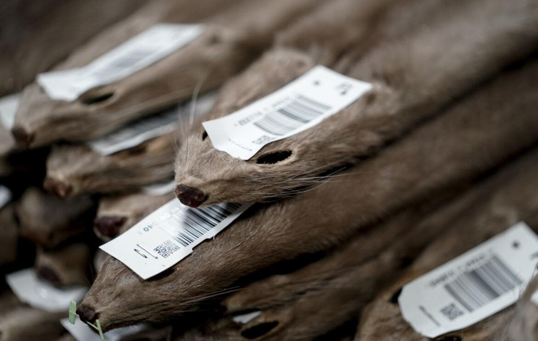Mink pelts, State Journal photo