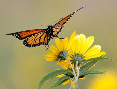 Wisconsin DNR to restore 700 acres of monarch habitat along Mississippi River