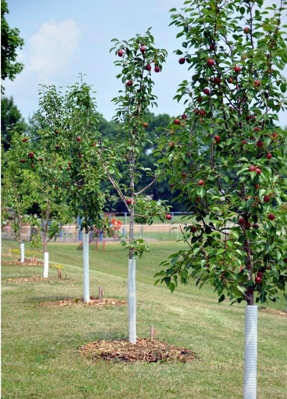 Fruit trees 2