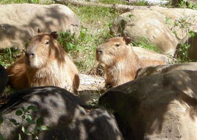 Henry Vilas Zoo capybaras