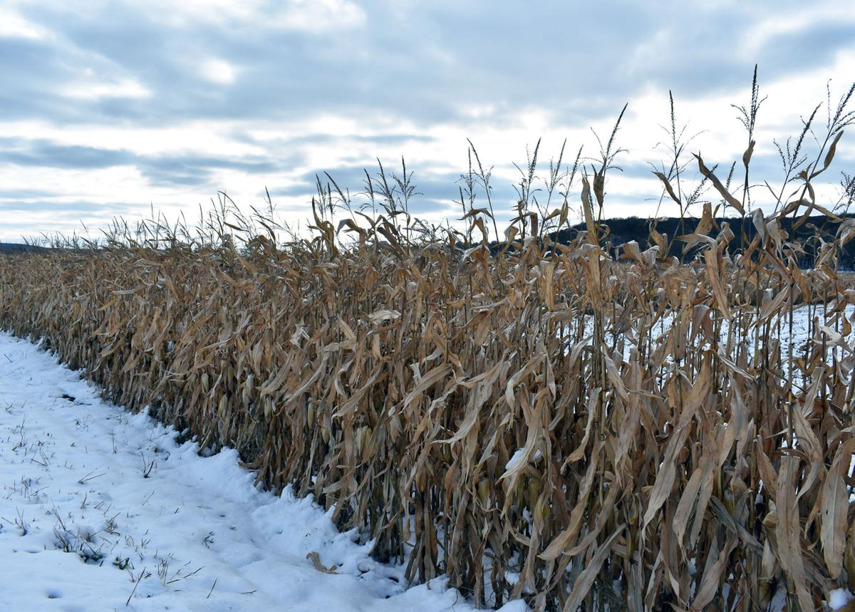 Snowy corn crop
