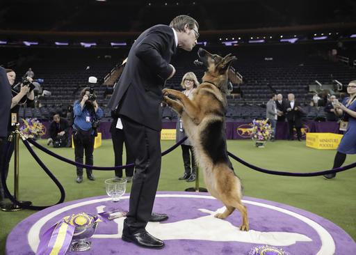 Rumor the German shepherd from Edgerton wins Westminster, AP photo