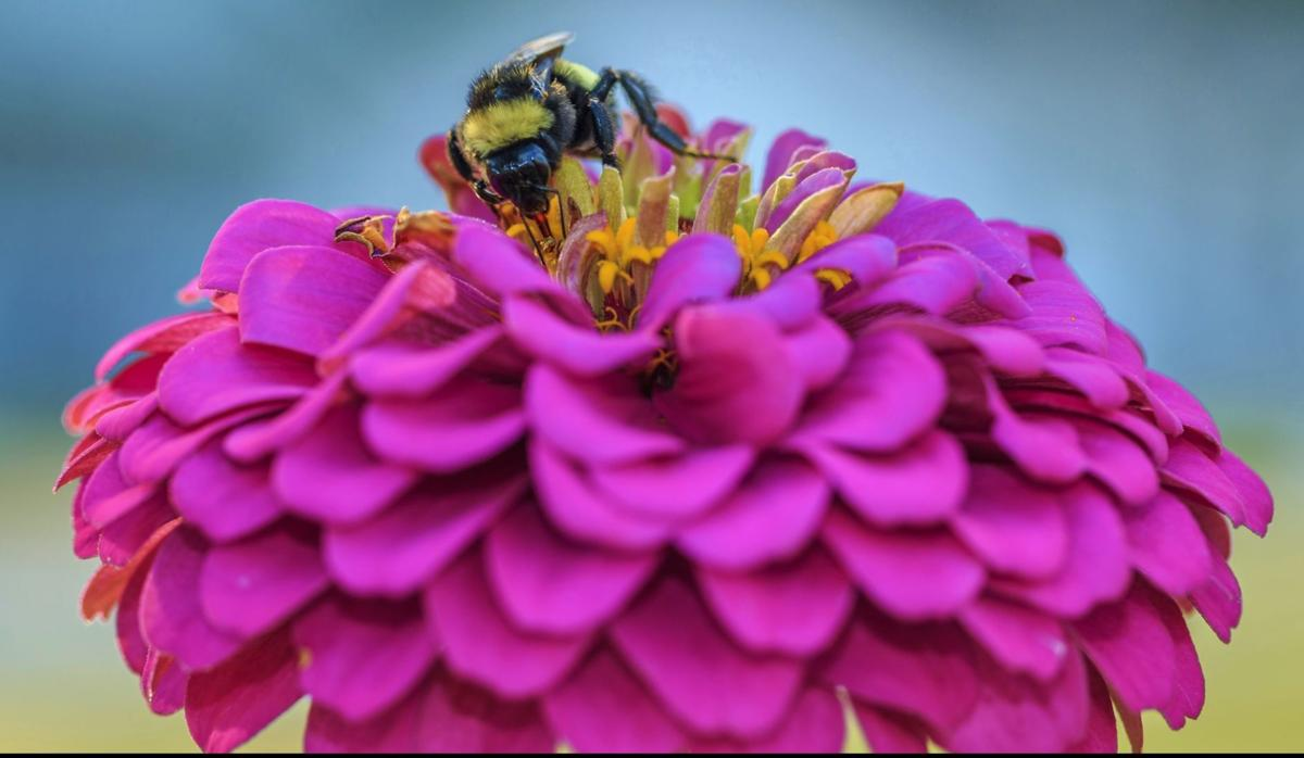 Pink flower with bee (copy)