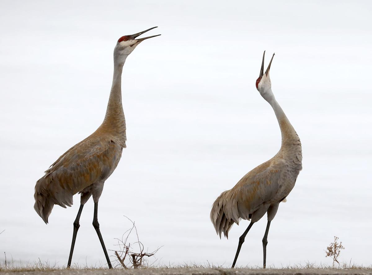 Sandhill Cranes Study Lake Wingra As >> The Week In Photos Youth Climate Strike State Spelling Bee And