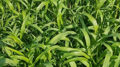 Corn field (copy)