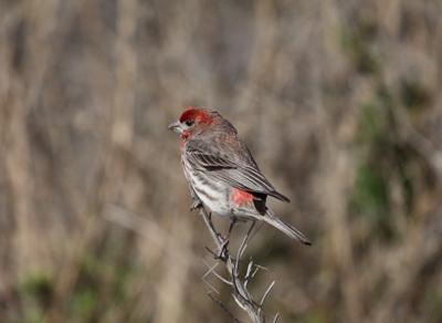house finch invasive species