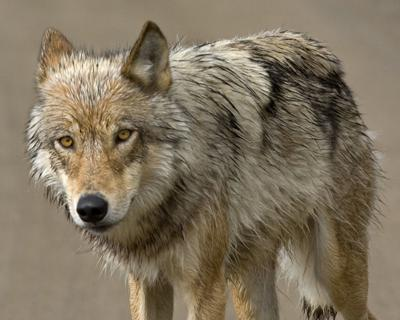 Kathleen Parker: It's too soon to lift protections for wolves
