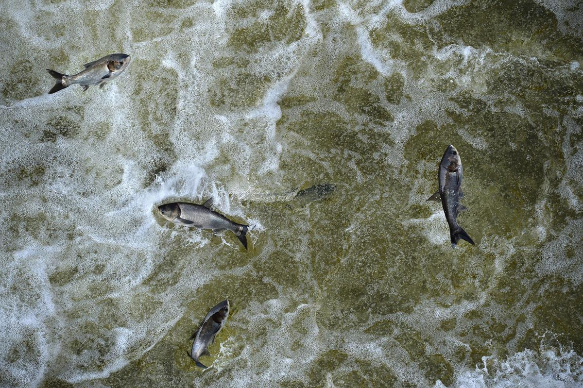 silver carp, grass carp, invasive carp