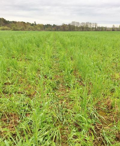 Cover crop mix in green cover