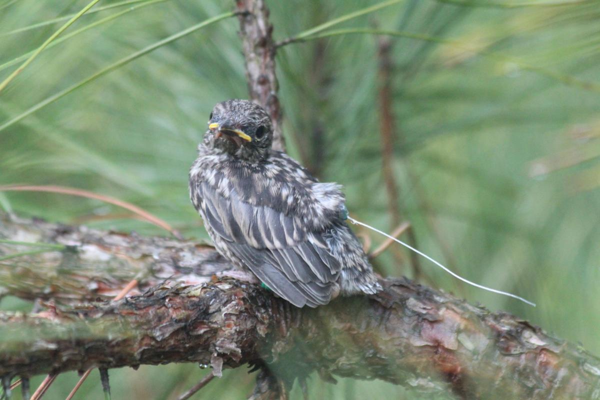 Kirtland's warbler with transmitter