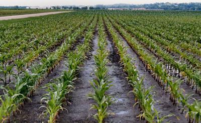 Wet corn field (copy)