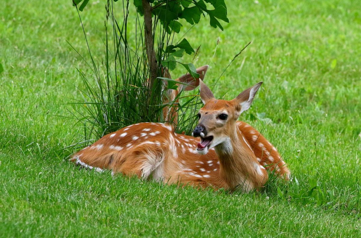 Twin fawn No. 2