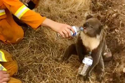 Patricia Randolph's Madravenspeak: Koala bear apocalypse a lesson for Wisconsin DNR