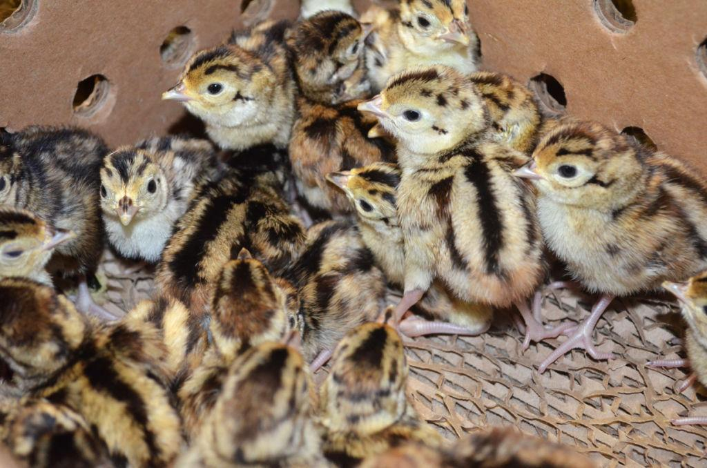 Wolff's Bellefontaine Farms hatch pheasants and chukar partridges