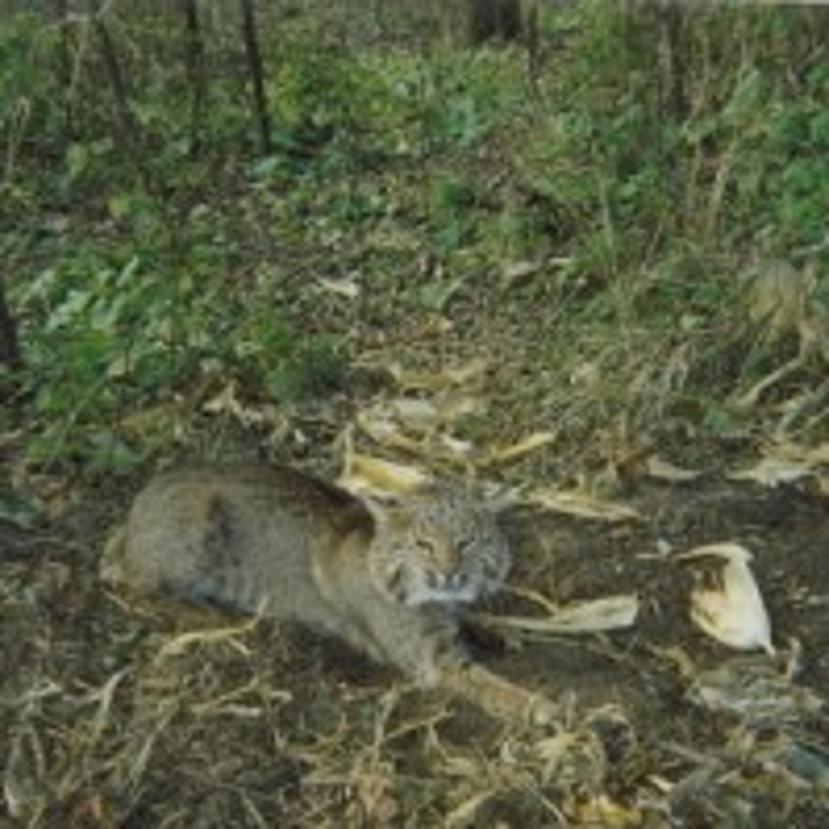 Bobcats making way to southern Wisconsin | Outdoors | madison com