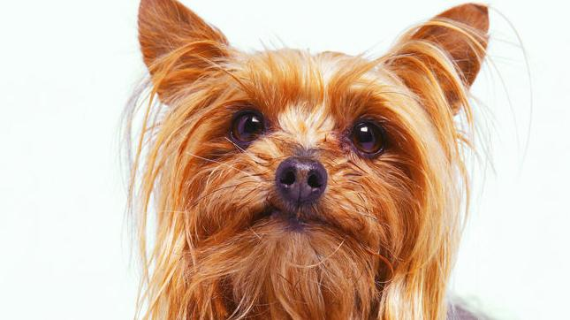 dog owners scrap over fault in fight that crippled yorkie crime madison com