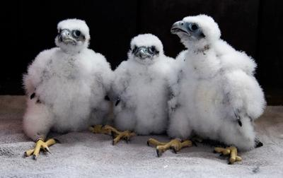 MGE peregrine falcon chicks