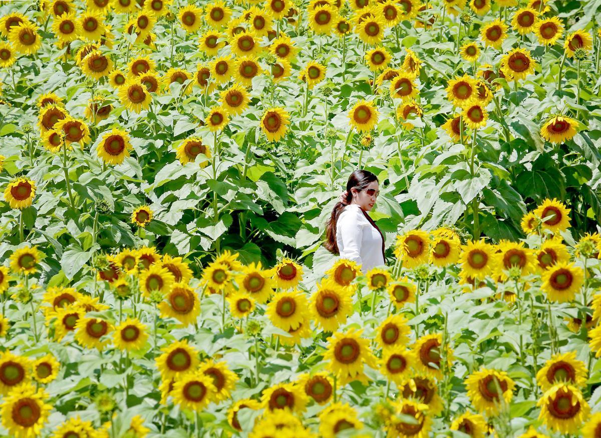 Pope Sunflowers