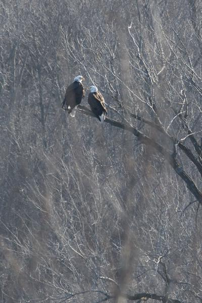 Bald Eagle In The Stockbridge Area Looks For Dinner