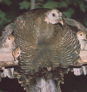 turkey mom