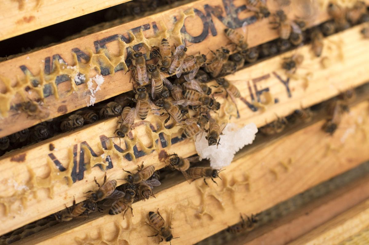 Vandehoney bees making comb