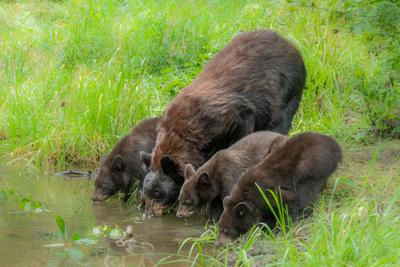 Bears get a drink