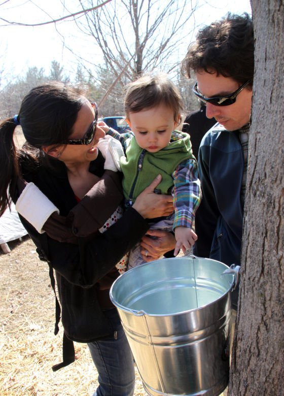 Tapping maple tree for syrup