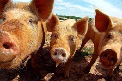 Bill Berry: 'Big hogs' are pushing around our smaller ag producers