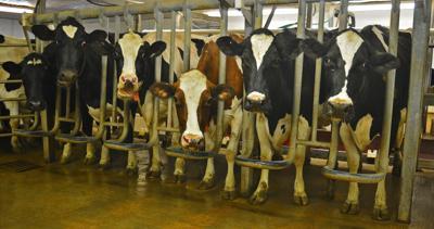 Cows at Den-Bar Dairy (copy)