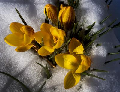 SNOWY CROCUSES