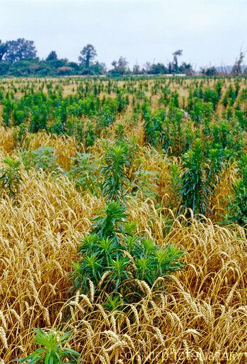 Herbicide-resistant weeds (copy)