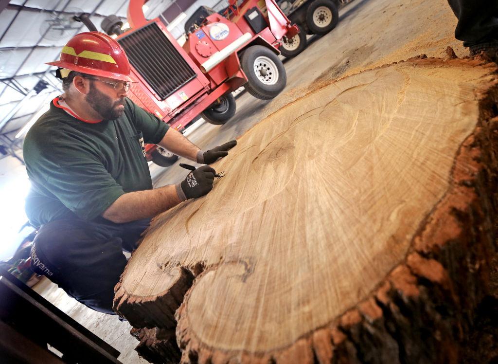 Jefferson County Bur oak tree