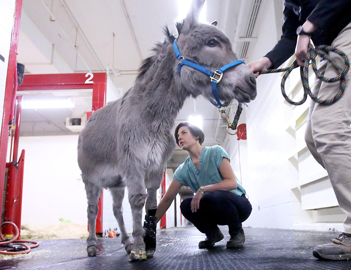 Neglected donkey gets artificial leg after rare amputation at UW