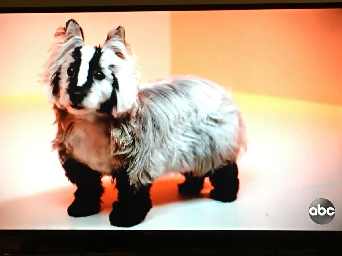 Screen shot of dog-turned-badger on 'Pooch Perfect'