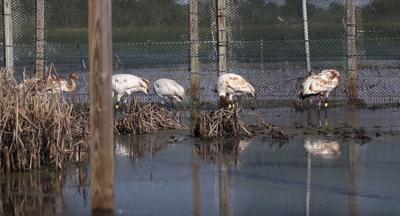 Louisiana Whooping Cranes (copy)