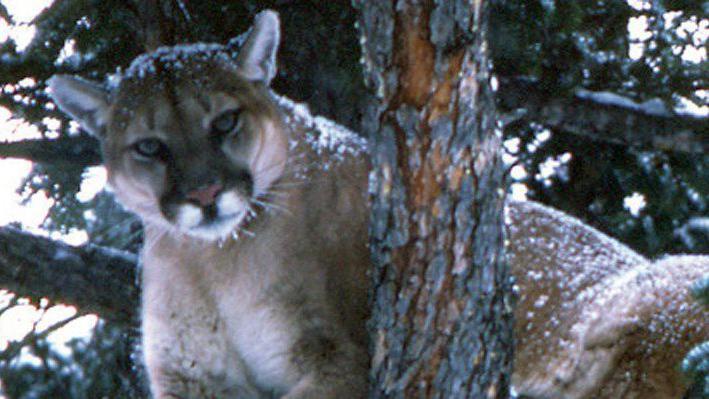 madison cougar