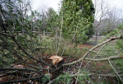 'Pine crime' solved: 3 students cited for theft of rare, 25-foot tree from UW Arboretum, police say