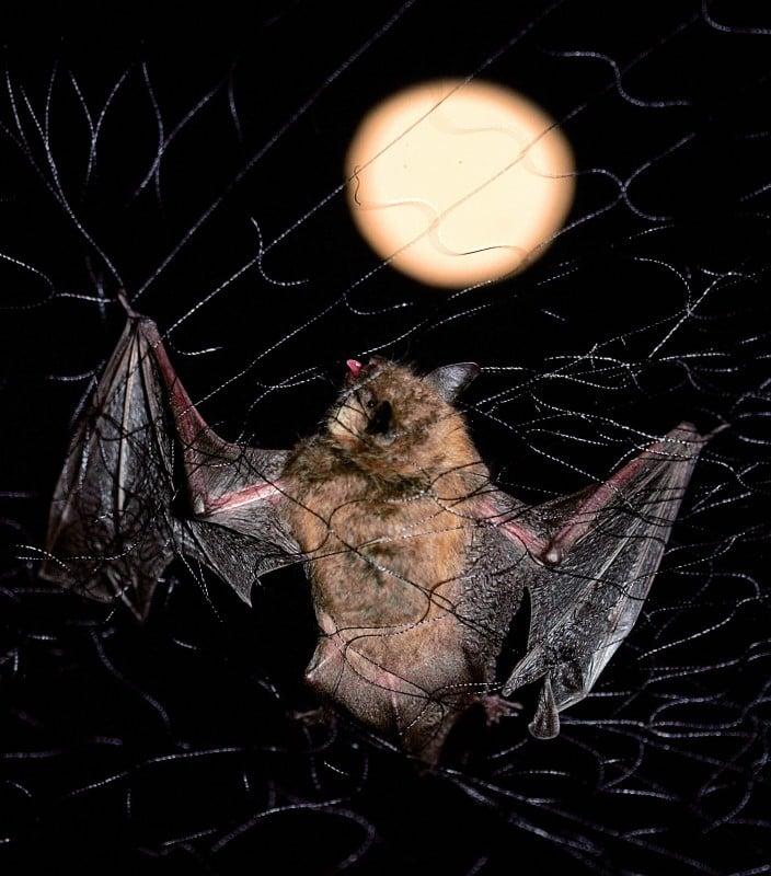 BATS SNARED.jpg
