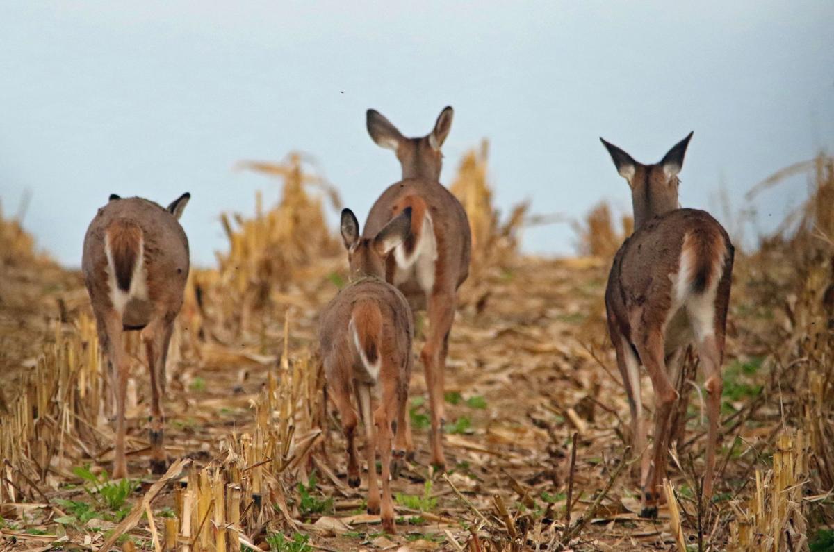 Deer in cornfield