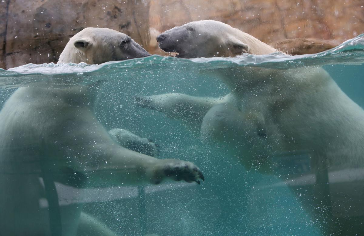 Polar bears at Henry Vilas Zoo