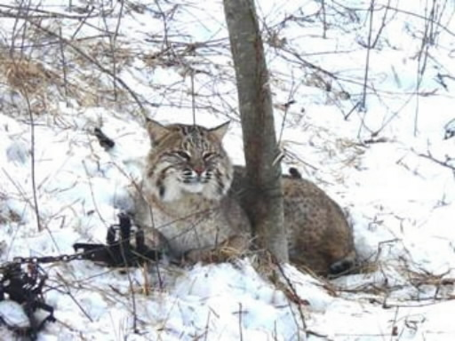 trapped bobcat II
