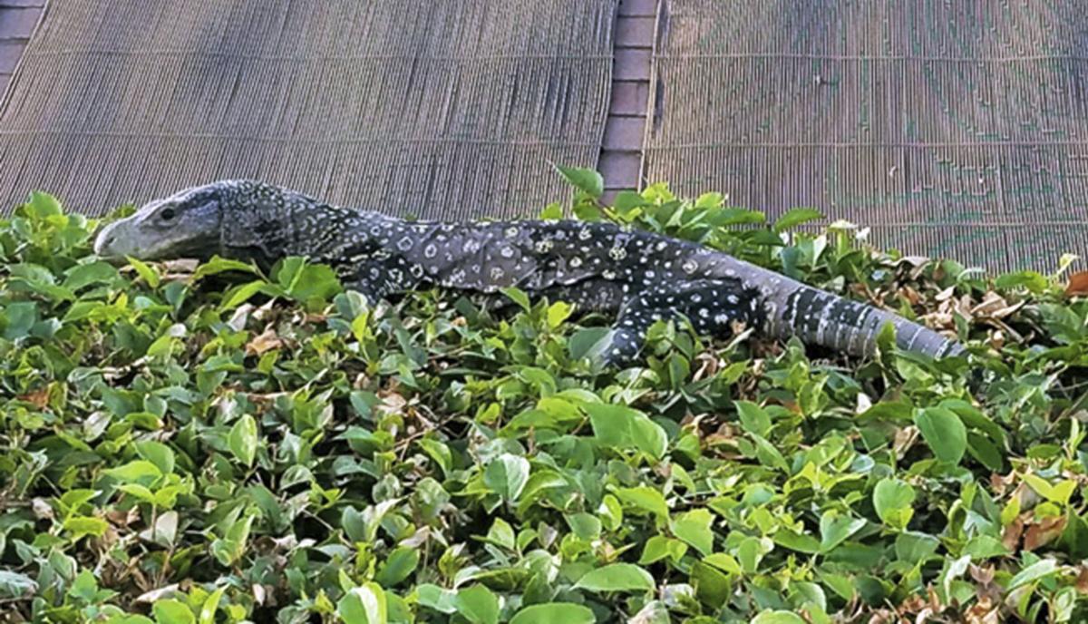 ODD Wayward Lizard