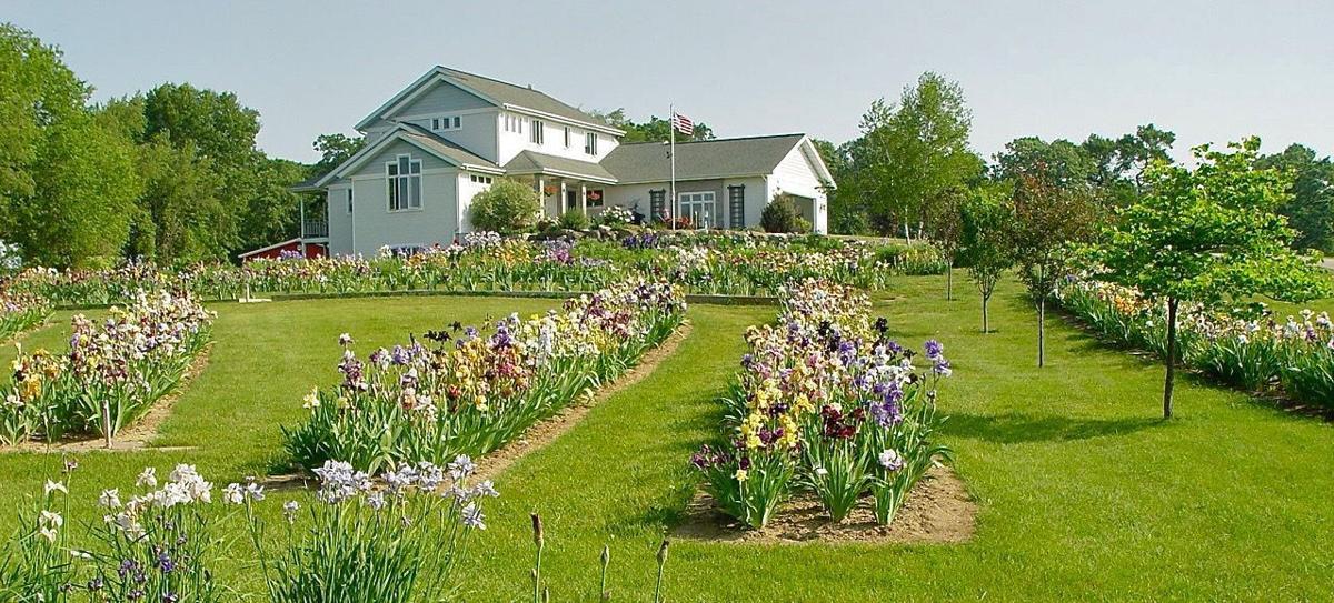 Breezeway Iris Garden at peak bloom BREEZEWAY IRIS GARDEN