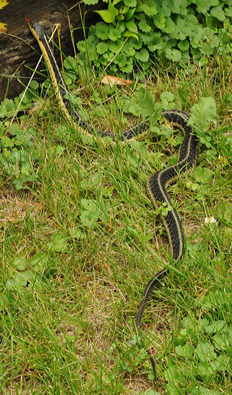 Patrick Durkin: Who frets about Wisconsin\'s garter snake? | Outdoors ...