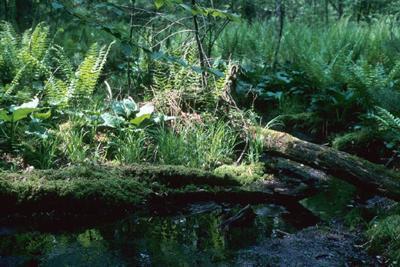 White pine-red maple swamp