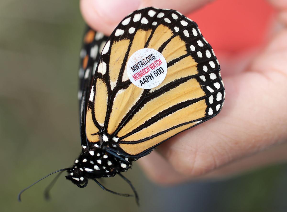 Monarch tagging close up