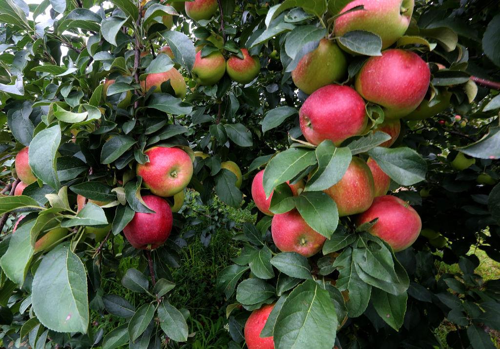 Earliblaze apples