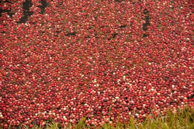 Cranberries-in-marsh.jpg