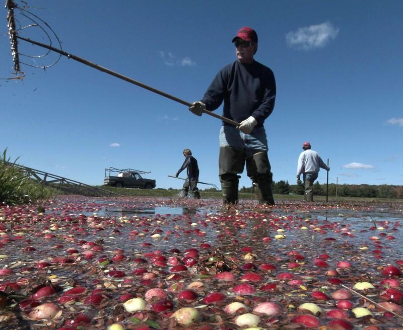 Cranberry Harvest 1.jpg