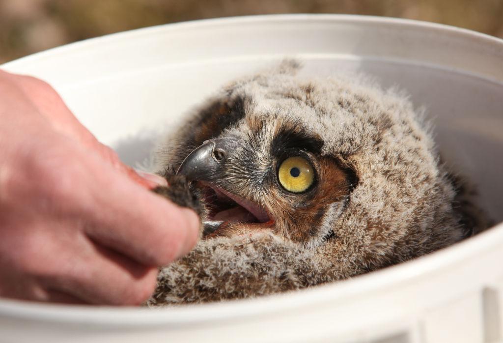 Feeding owlet